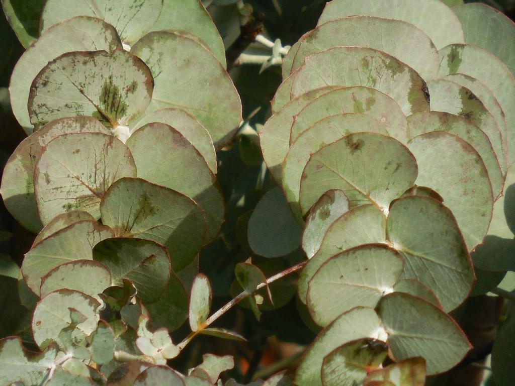 eucalyptus-1112112_1280