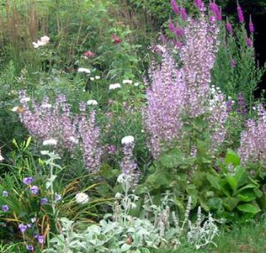 Clary Sage plant