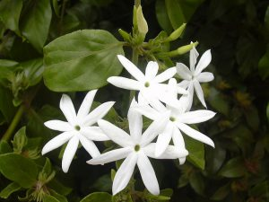 Wikimedia Commons Jasminum