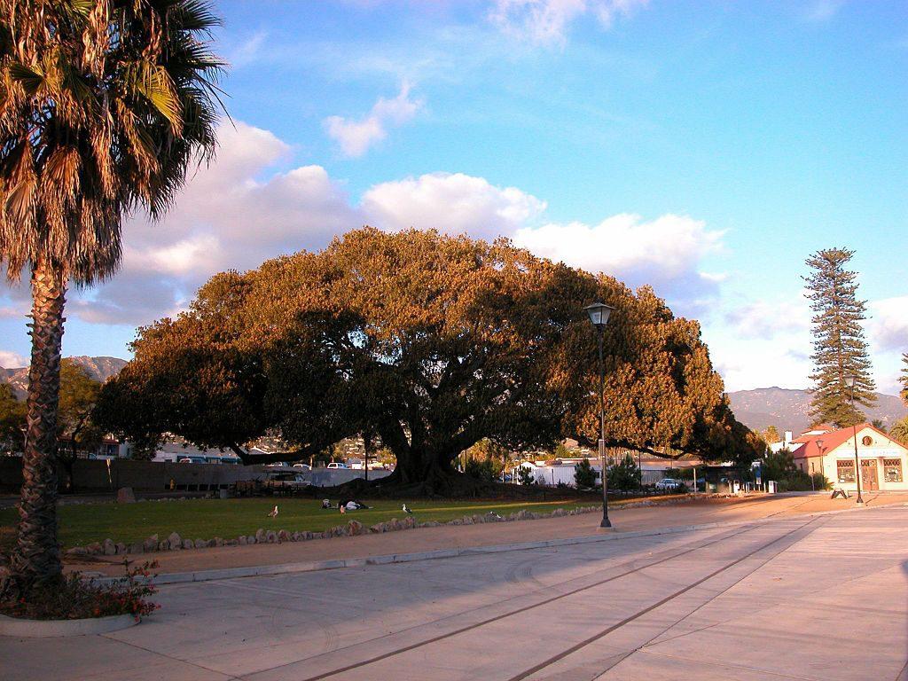 Morton Bay Fig Tree in Santa Barbara, CA